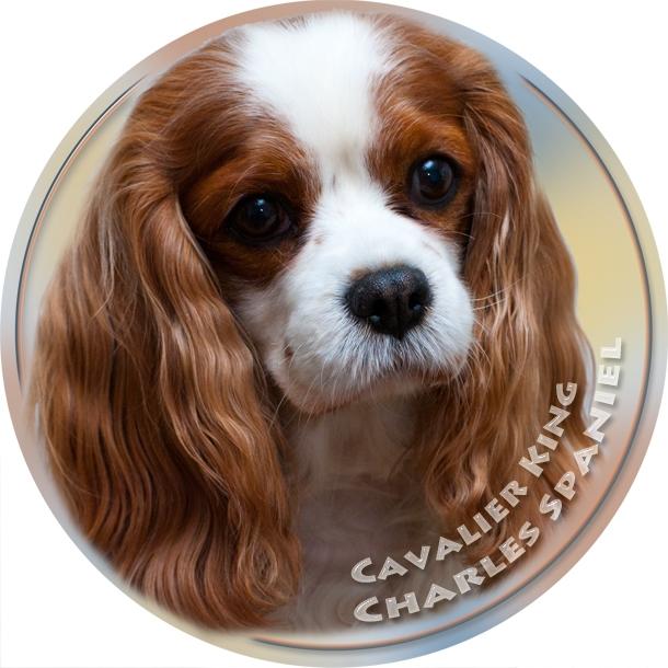 Sticker Breed Dog Cavalier King Charles Spaniel